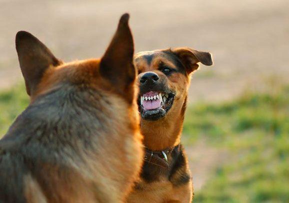 Кусается взрослая собака