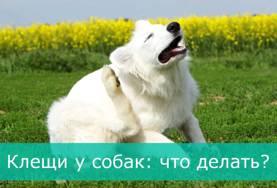 Клещи у собак - что делать, основные симптомы